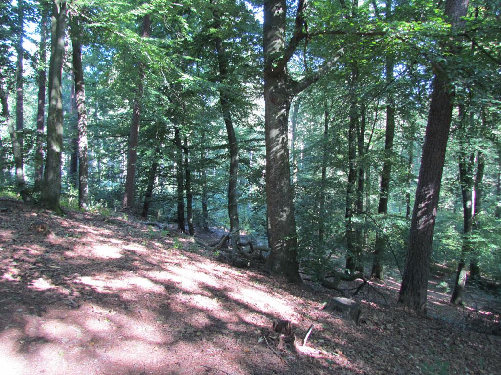 Viele Bäume stehen dicht an dicht in einem Wald