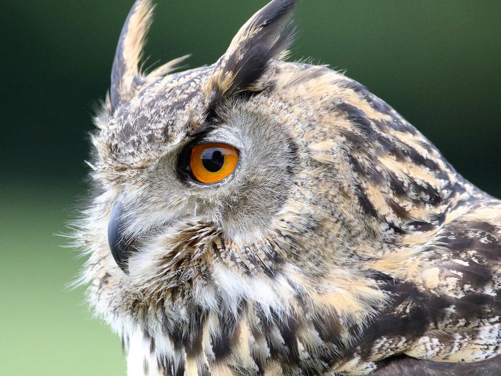 Nahaufnahme vom Kopf einer Eule mit großen orangenen Augen