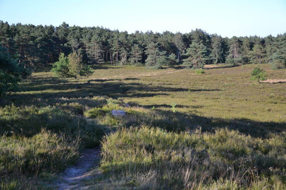 Die Heidefläche mit dem Nadelwald im Hintergrund