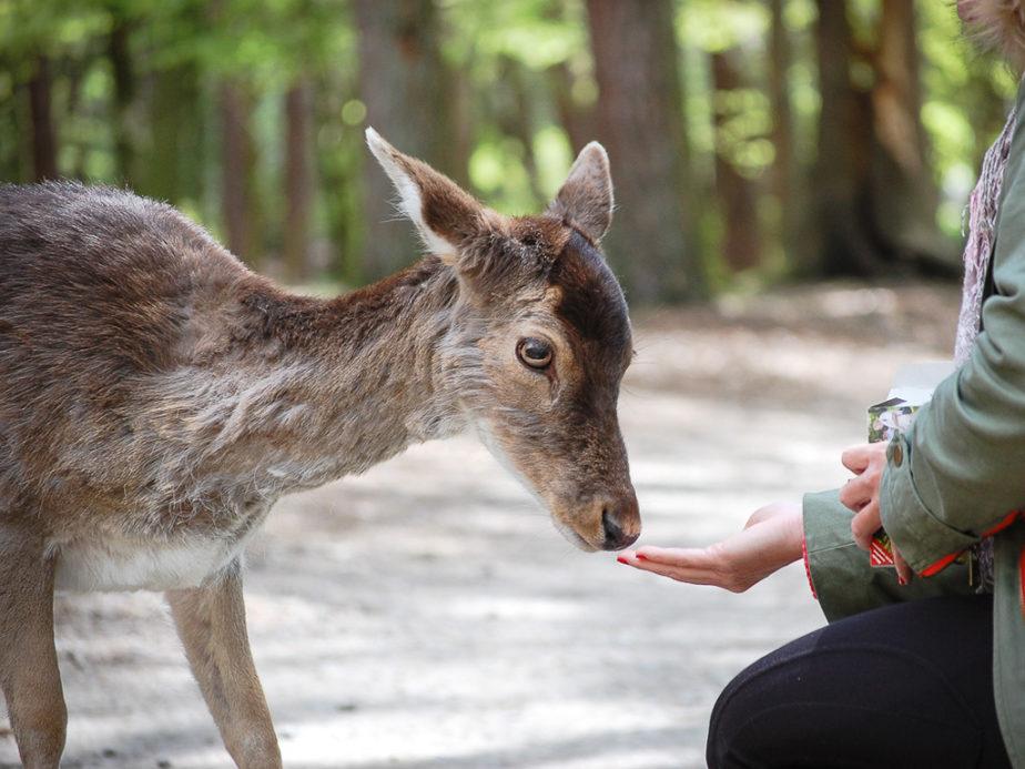 Eine Frau hält eine Hand mit Futter vor die Schnauze eines Damwilds