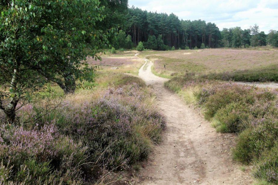 Weg durch die Heide mit Nadelwald im Hintergrund