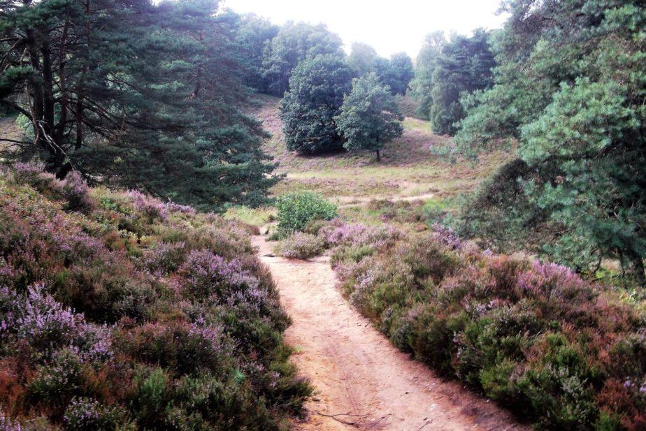 Kleiner Sandweg durch die Fischbeker Heide links und rechts vom Weg lila Heidebüsche.