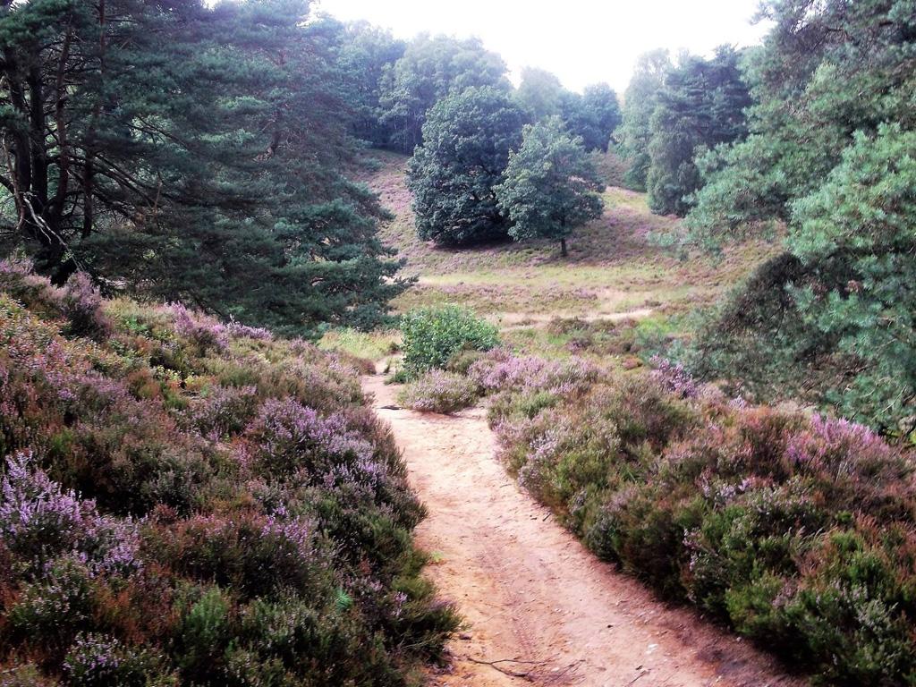Ein Sandweg durch die blühende Heide mit grünen Nadelbäumen