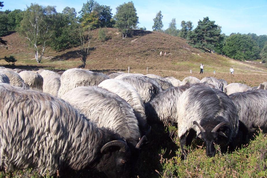 Heidschnucken in der Heide und ein Hügel im Hintergrund
