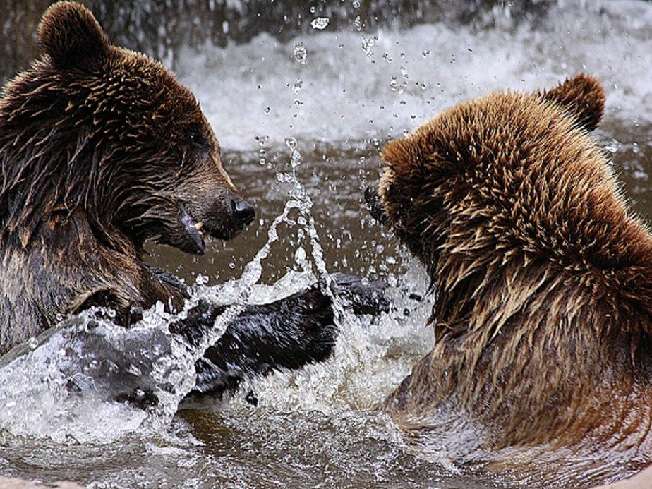 Zwei Bären soielen und toben im Wasser