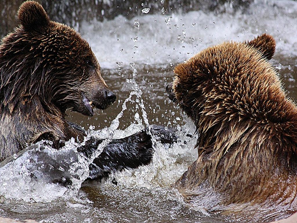 Zwei braune Bären spielen im Wasser