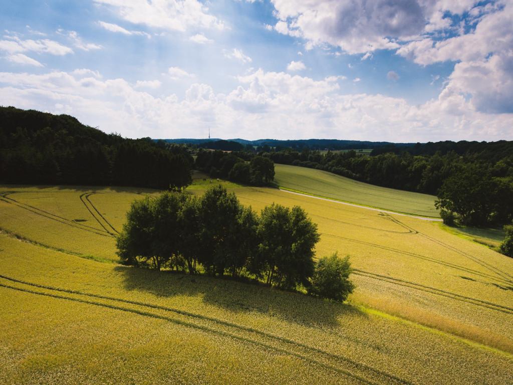 Luftaufnahme eines leuchtend gelben Rapsfeldes mit einem Feldgehölz