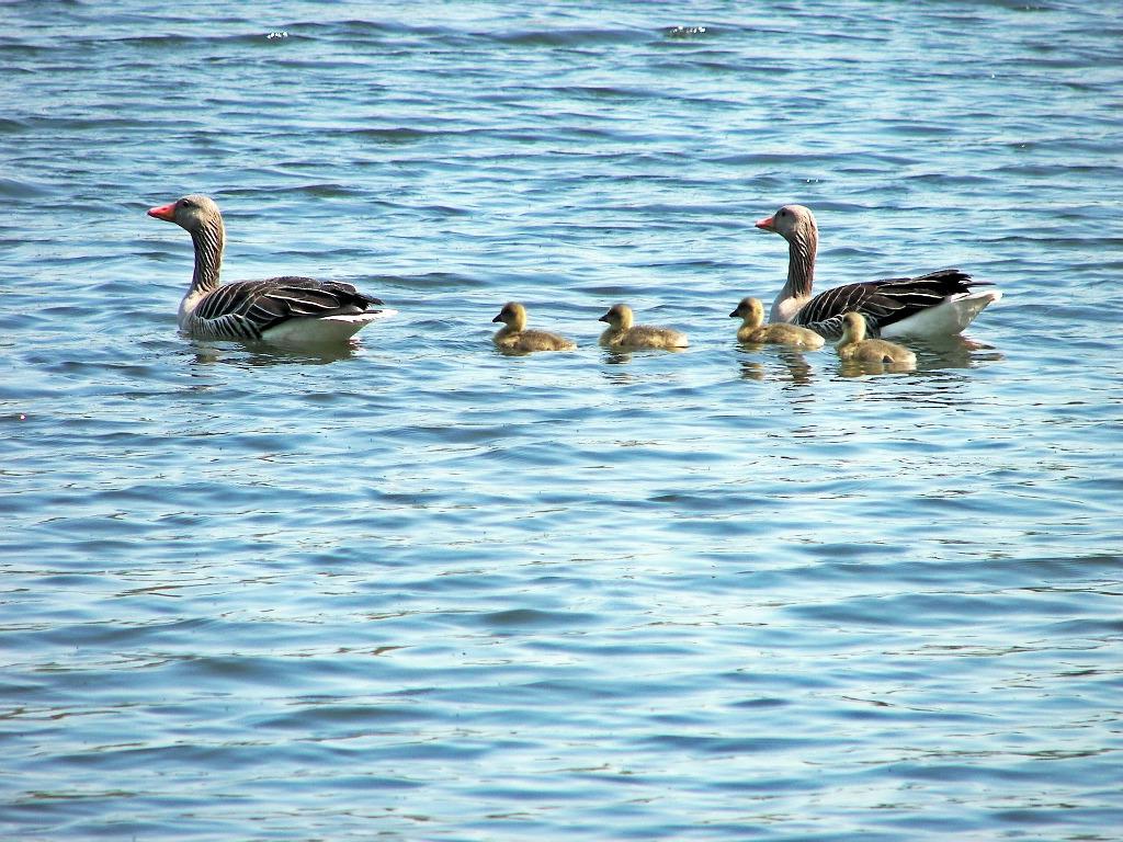 Entenfamilie auf dem Teich